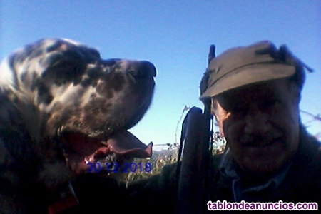 Perro macho setter tricolor