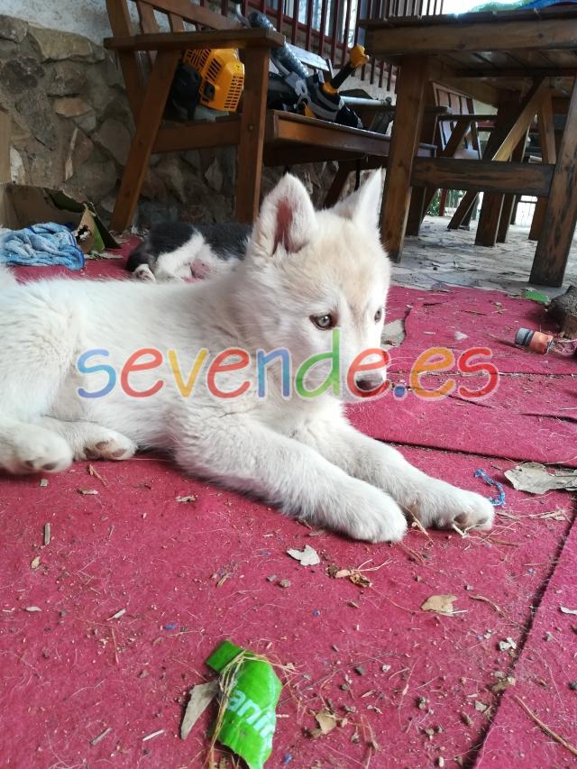 Cachorra husky canela con ojos verdes