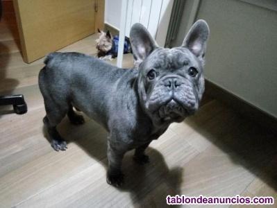 Se vende cachorritas de bulldog francés