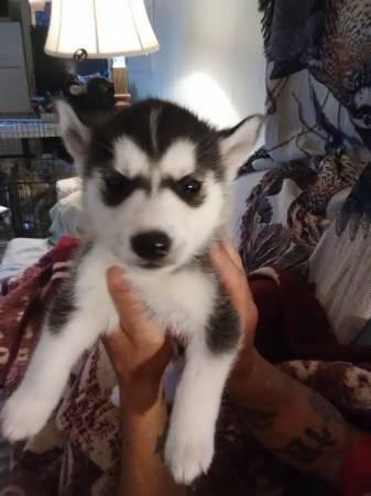 Cachorros de husky siberiano para realojamiento.