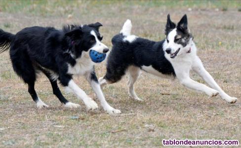 Cachorros de border collies