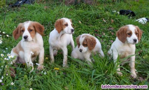 Cachorros de spaniel breton pura raza