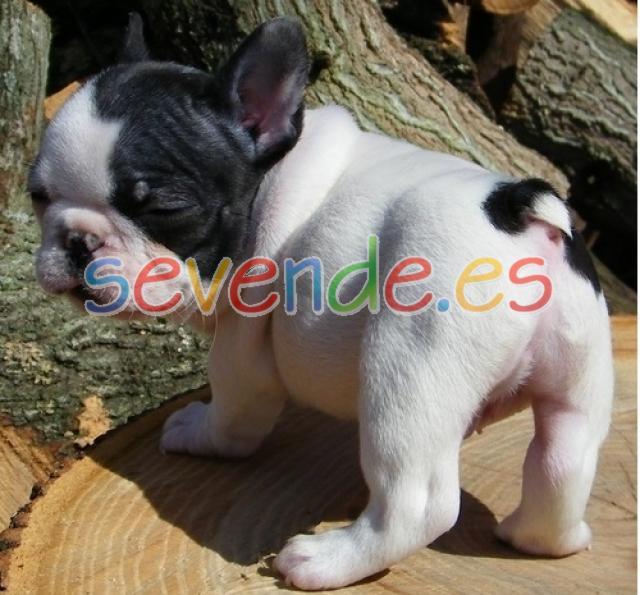Cachorros de bulldog francés de calidad y sal
