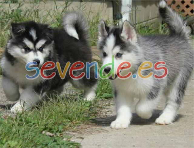 Regalo macho y hembra cachorros husky siberia