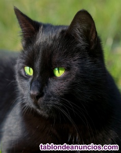 Gato negro de 5 meses y medio en adopción