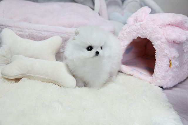 Regalo cachorros Pomerania Machos y hembras disponibles
