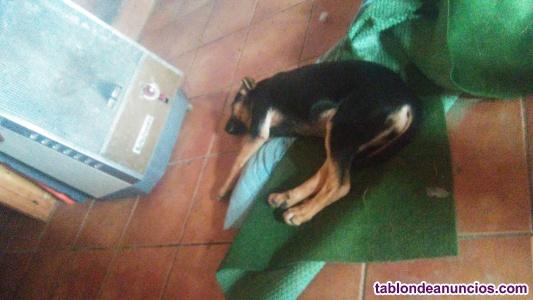 Cachorros mastin/pastor aleman
