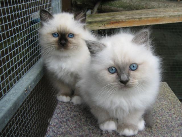 Gatitos persas vacunados para su libre adopción.