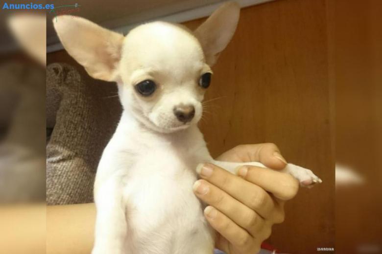 Espectaculares Camadas De Chihuahua