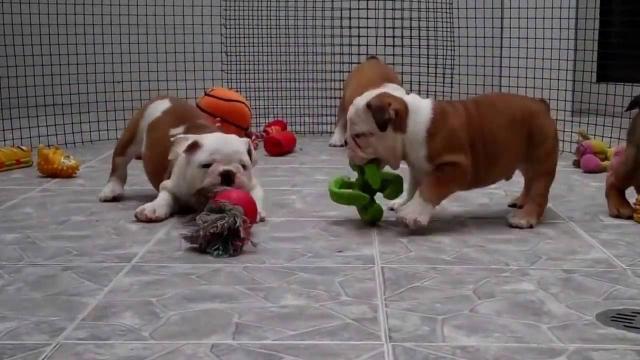 regalo Excelentes cachorros de bulldog ingles, machos y