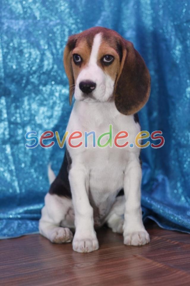Camada Beagle nacional