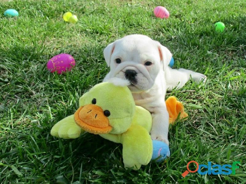Preciosos cachorros de Bulldog Inglés disponibles