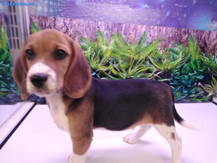 Cachorro Beagle BCN