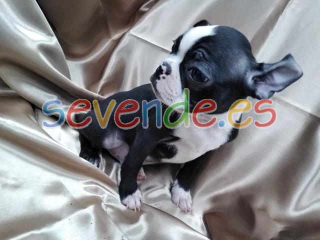 Cachorro Boston Terrier BCN