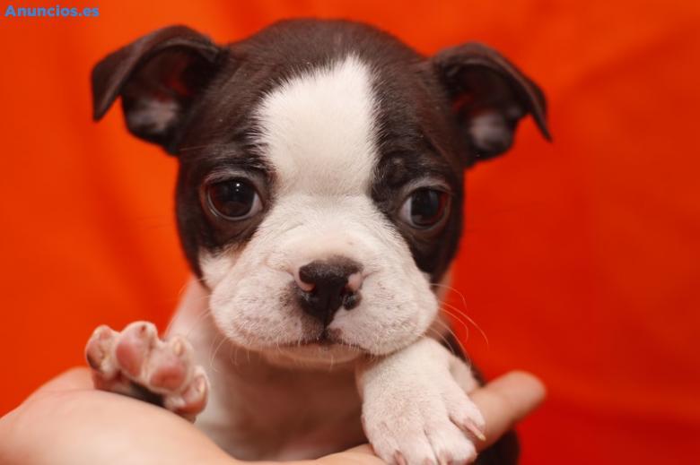 Camada Boston Terrier BCN