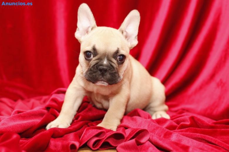 Camada Bulldog FrancéS Nacional