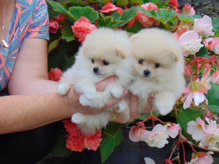 Dos maravillosos cachorros de Pomerania mini toy njukilo