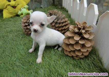 Chihuahuas micro toy