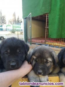 Excelentes cachorros de mastin español