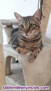 Gatito atigrado rayado. En adopcion.