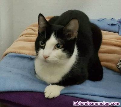 Gatito blanco y negro en adopcion.