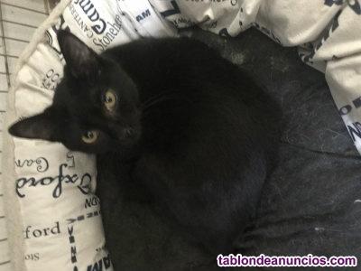 Gatito negro de 9 meses. Armanni. Muy bueno