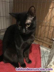 Gatito negro en adopcion. Armani