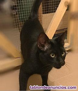 Gatito negro muy bueno y jugueton. Adopta