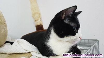 Gutti. Gatito blanco y negro en adopcion.