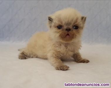 Preciosa camada de gatitos persas