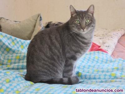 Precioso gatito atrigrado gris