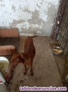 Se vende cachorro de podenco andaluz