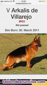 Se vende cachorros pastor aleman