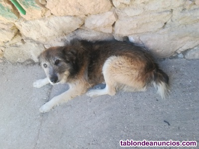 Vendo cachorros de border collie