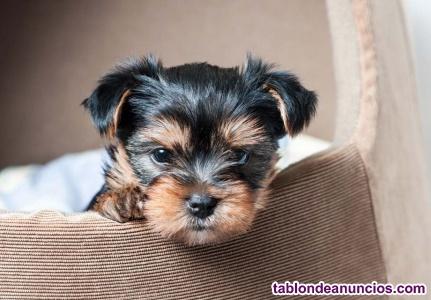 Yorkshire terrier cachorros disponibles