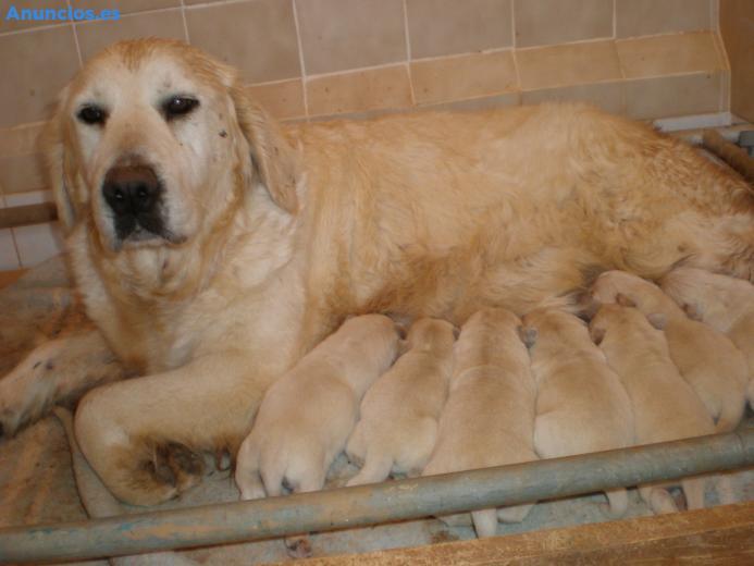 Golden Retriever Cachorros