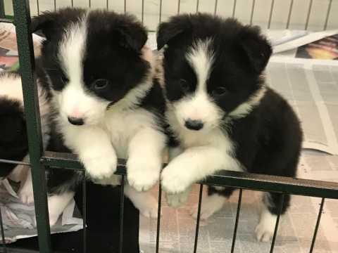 Border collie cachorros para regalos a los niños.