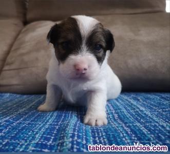 Preciosos cachorros de jack russell terrier