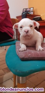 Se vende american bully exotic