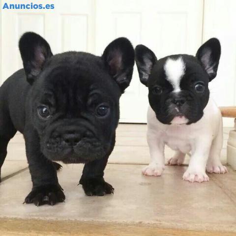 Bulldog FrancéS Cachorros En REGALOS