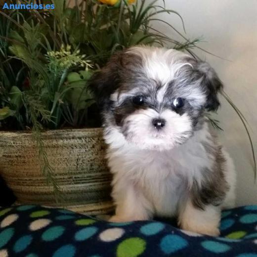 Fantasticos Cachorros Shih Tzu