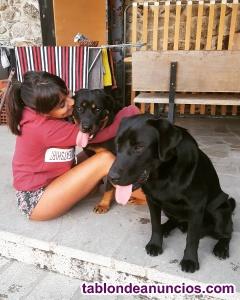 Regalo perros rottweiler con labrador