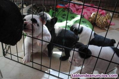 Regalo preciosa camada de bulldog frances