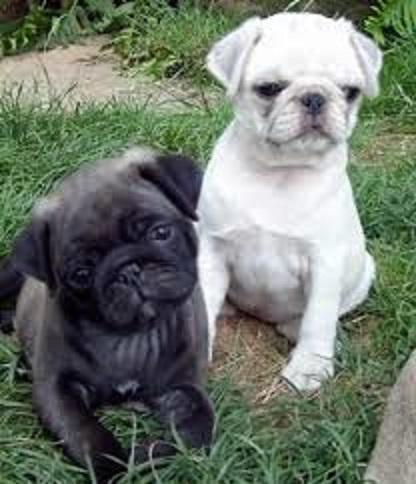 Cachorros de Pug carlino de 12 semanas a l`ADOPCION
