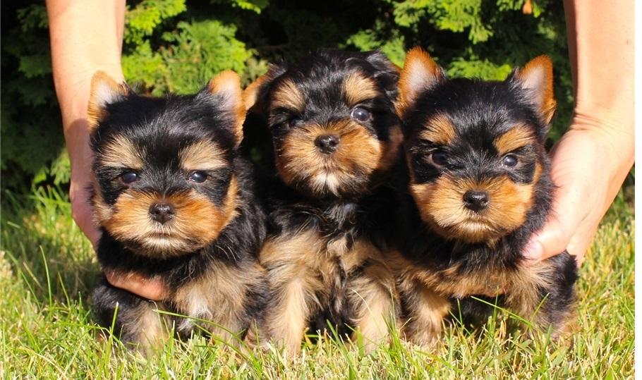 Cachorros de Yorkshire de 12 semanas a l`ADOPCION