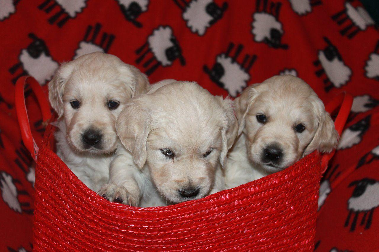 Cachorros de golden retriever de 12 semanas de edad para