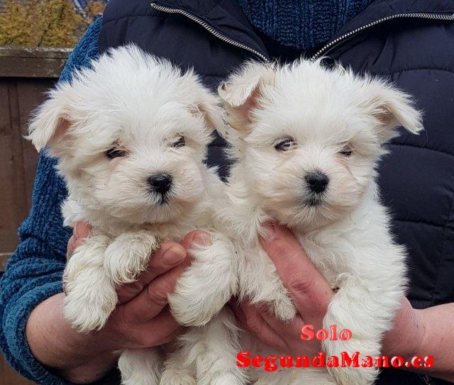 Cachorros malteses de calidad registrados.