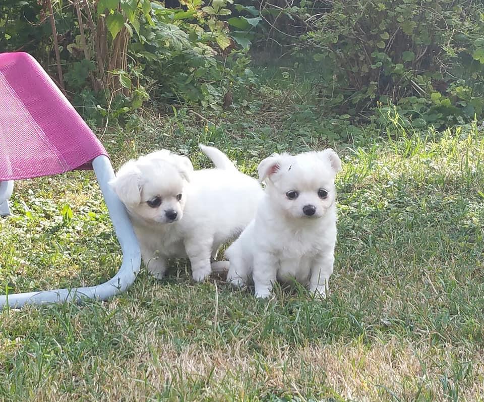 Chihuahua pups op zoek naar een nieuw huis!