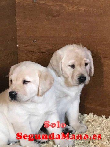 Disponible Labrador Puppies para la venta