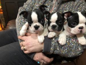 Dos cachorros de clase superior en Boston Terrier